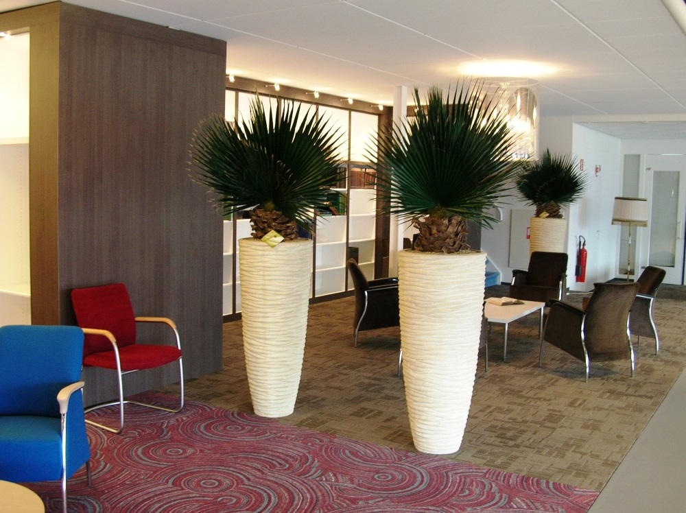 Washington Palm Gestabiliseerd