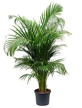 Luchtzuiverende kantoorplant Areca palm