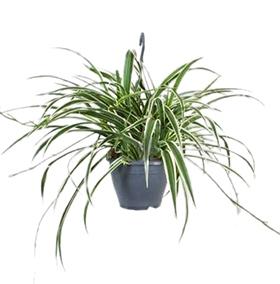 Luchtzuiverende kantoorplant hangplant