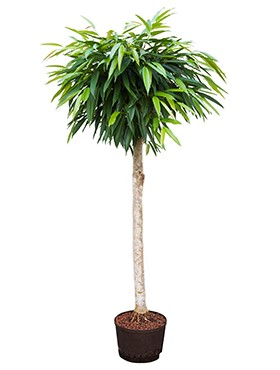 Luchtzuiverende kantoorplant Ficus interieurbeplanting