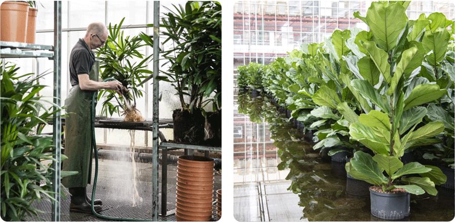 Grondplanten omkweken naar hydrocultuur